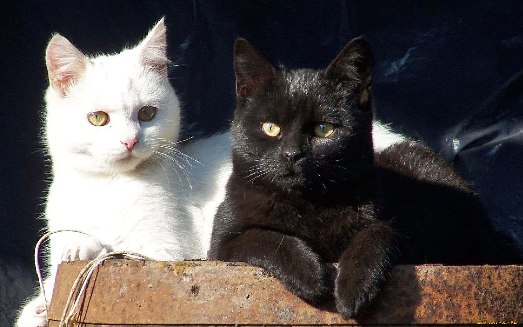 Картинки кошек черные и белые